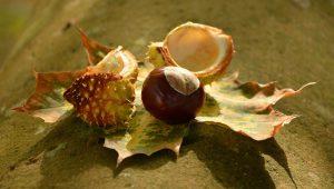 chestnut-1703576_1920