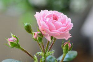 rose-1436247_1920